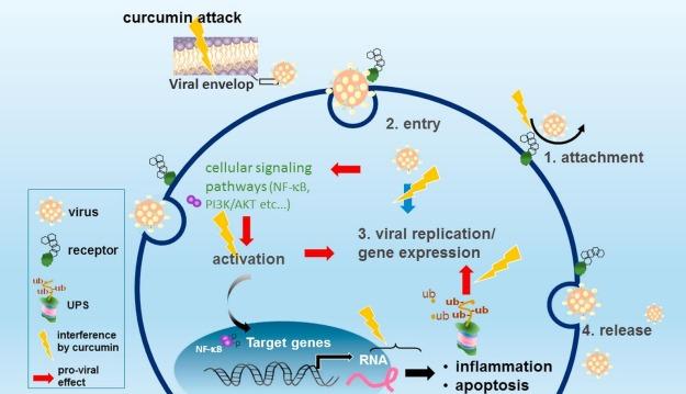 curcumin anti viral multiple effects